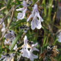 Rosemary 1,8 Cineole