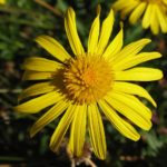 arnica-yellow-petals-flower